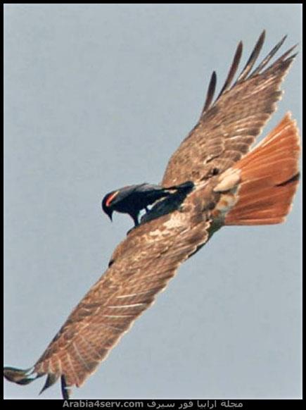 طائر مكسل يطير