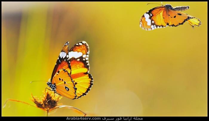 صور-اجمل-فراشات-ملونة-جديدة-2
