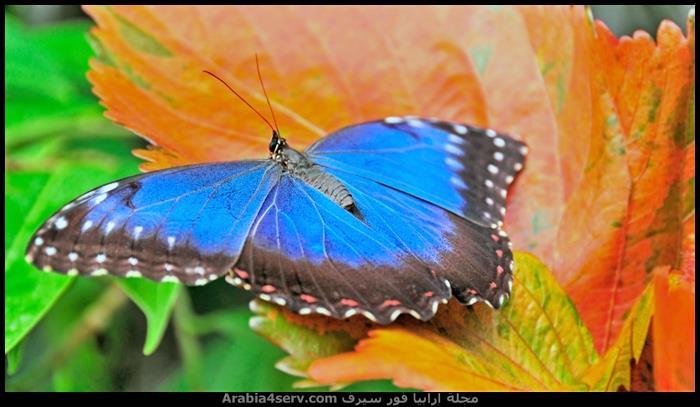 صور اجمل فراشات ملونة جديدة