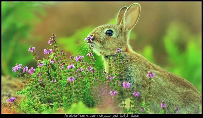صور-الارنب-البري---صور-ارانب-برية-1