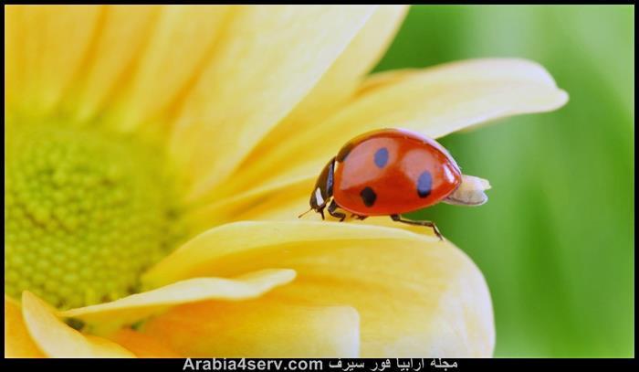 صور-الخنفساء-المنقطة-الدعسوقة-Ladybird-2