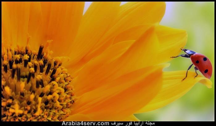 صور-الخنفساء-المنقطة-الدعسوقة-Ladybird-3