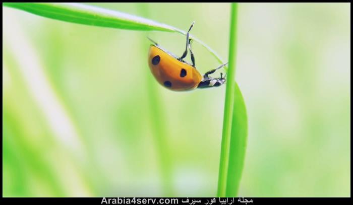 صور-الخنفساء-المنقطة-الدعسوقة-Ladybird-4