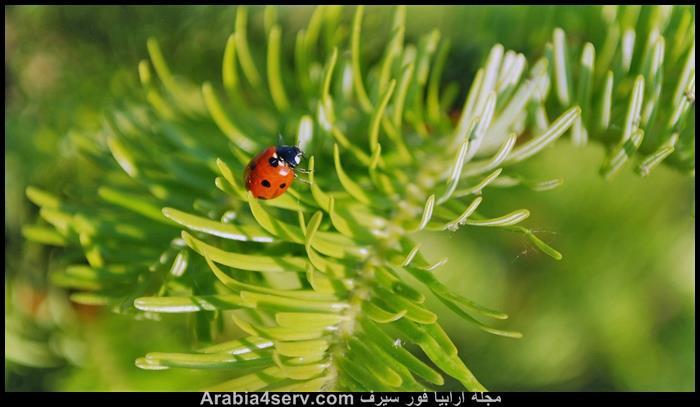 صور-الخنفساء-المنقطة-الدعسوقة-Ladybird-5
