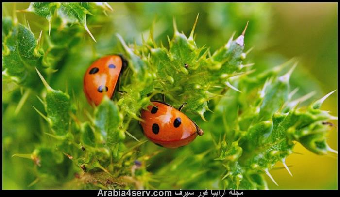 صور الخنفساء المنقطة الدعسوقة Ladybird
