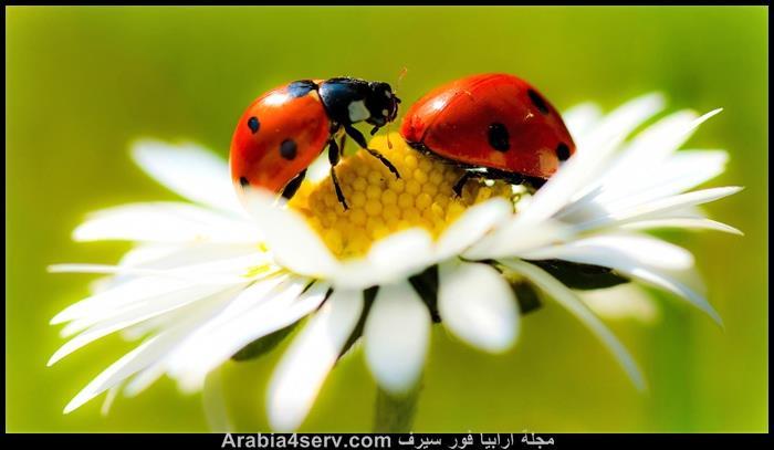صور-الخنفساء-المنقطة-الدعسوقة-Ladybird-8