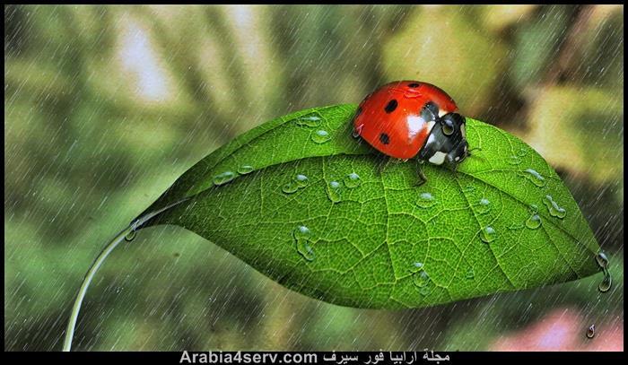 صور-الدعسوقة-الخنفساء-المنقطة-Ladybird-1