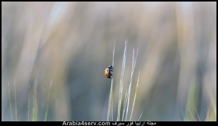 صور-الدعسوقة-الخنفساء-المنقطة-Ladybird-4