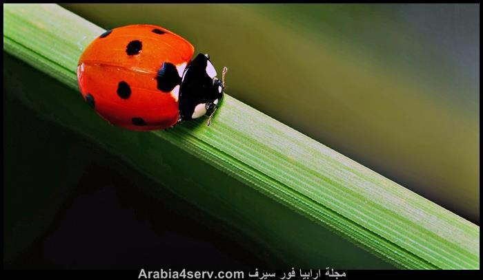 صور-الدعسوقة-الخنفساء-المنقطة-Ladybird-5