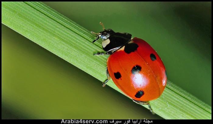 صور الدعسوقة الخنفساء المنقطة Ladybird