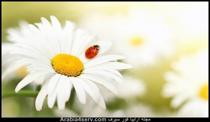 صور-الدعسوقة-الخنفساء-المنقطة-Ladybird-8
