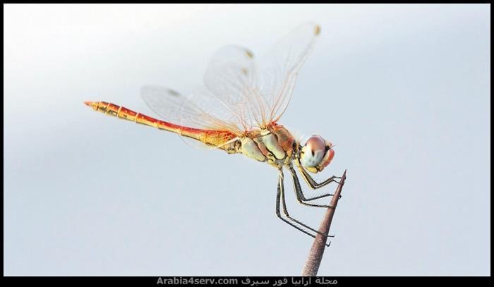 صور-اليعسوب--Dragonfly-1