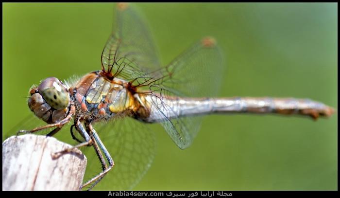 صور-اليعسوب--Dragonfly-2