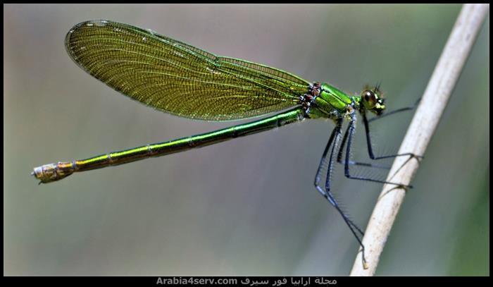 صور-اليعسوب--Dragonfly-3