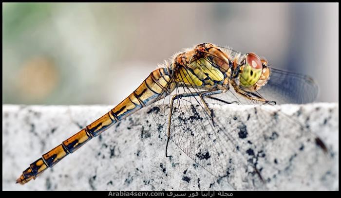صور اليعسوب  Dragonfly
