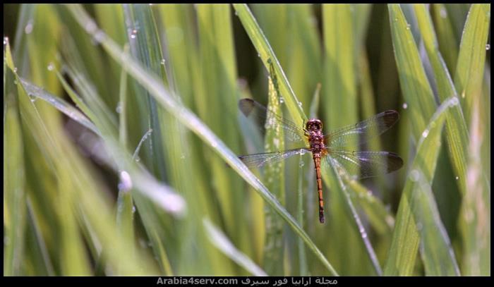 صور-اليعسوب--Dragonfly-5