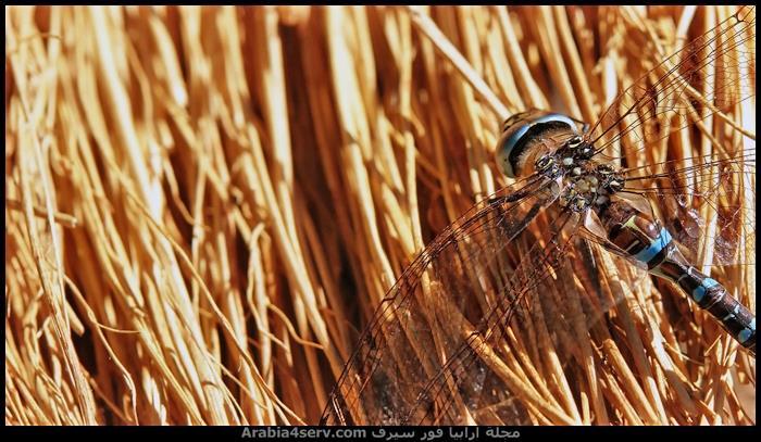 صور-اليعسوب--Dragonfly-6