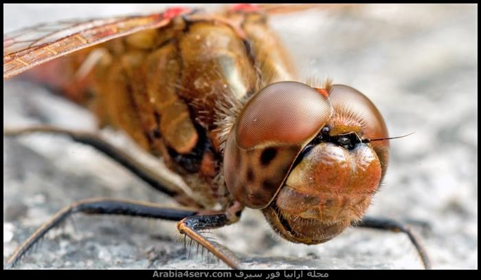 صور-اليعسوب--Dragonfly-7