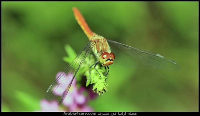 صور-جميلة-لحشرة-اليعسوب-Dragonfly-2