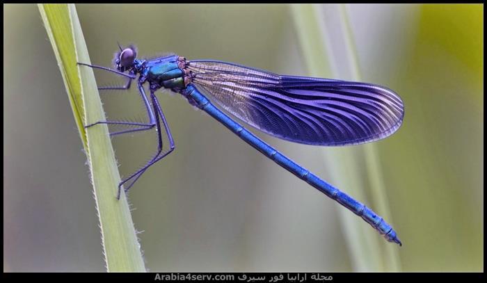 صور-جميلة-لحشرة-اليعسوب-Dragonfly-3