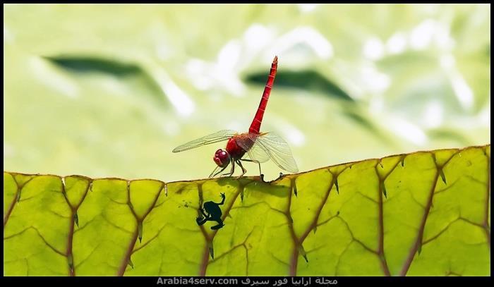 صور-جميلة-لحشرة-اليعسوب-Dragonfly-4