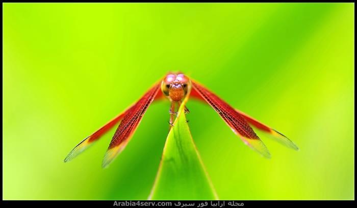 صور جميلة لحشرة اليعسوب Dragonfly