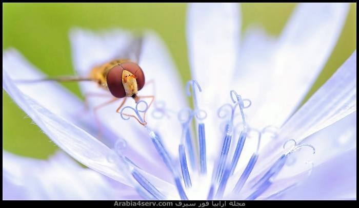 صور-جميلة-لحشرة-اليعسوب-Dragonfly-6