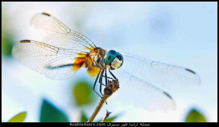 صور-جميلة-لحشرة-اليعسوب-Dragonfly-7
