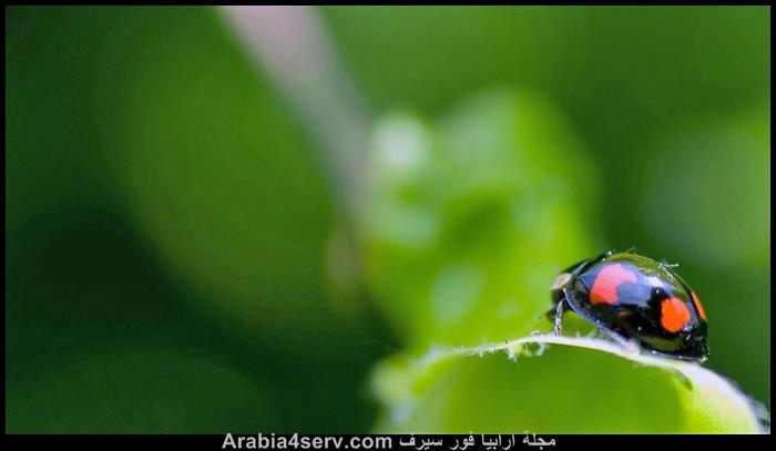 صور-حشرة-الدعسوقة-1