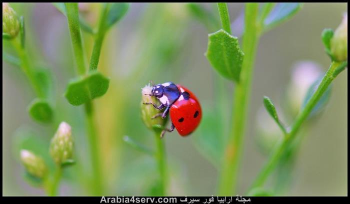 صور-حشرة-الدعسوقة-2