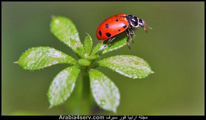صور-حشرة-الدعسوقة-3