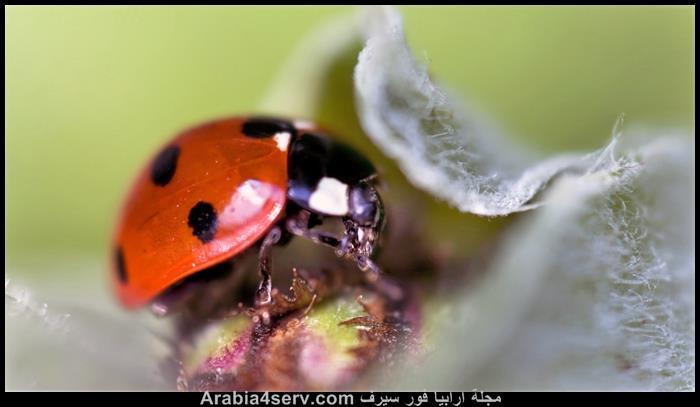 صور-حشرة-الدعسوقة-5