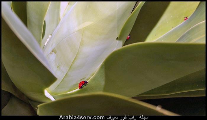صور-حشرة-الدعسوقة-7