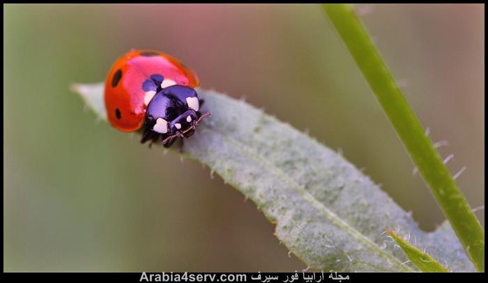صور-حشرة-الدعسوقة-8