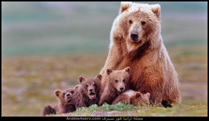 صور-حيوان-الدب-جديدة-جميلة-روعة-1