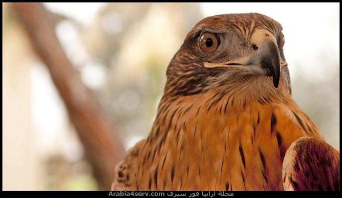 صور-طيور-مفترسة-جميلة-جدا-6