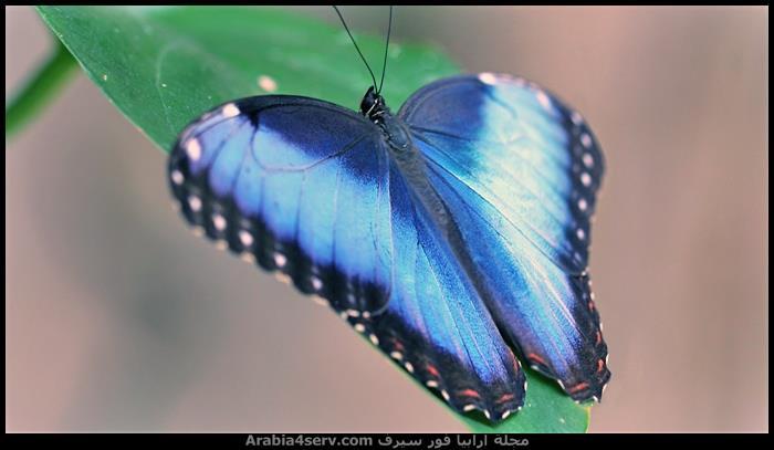 صور-فراشات-ملونة-تحفة-1