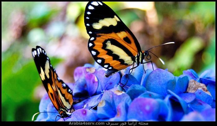 صور-فراشات-ملونة-تحفة-2