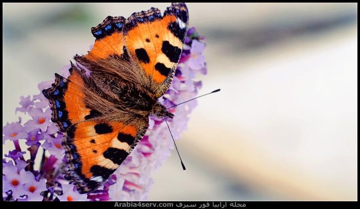 صور-فراشات-ملونة-تحفة-4