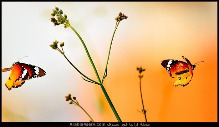 صور-فراشات-ملونة-تحفة-7
