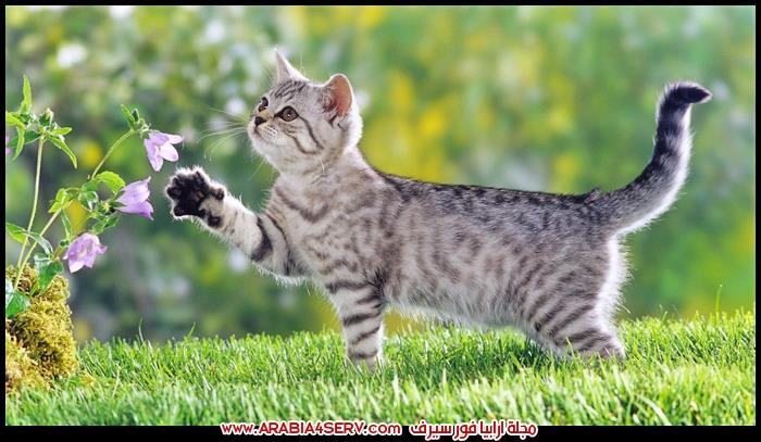 صور-قطط-رمادية-اللون-1