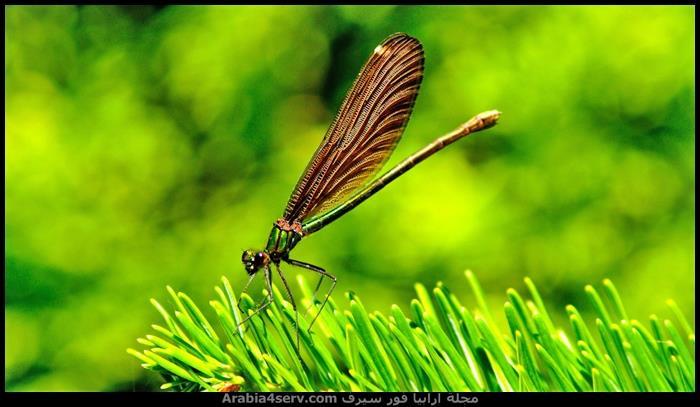 صور-نادرة-احترافية-لليعسوب-Dragonfly-2