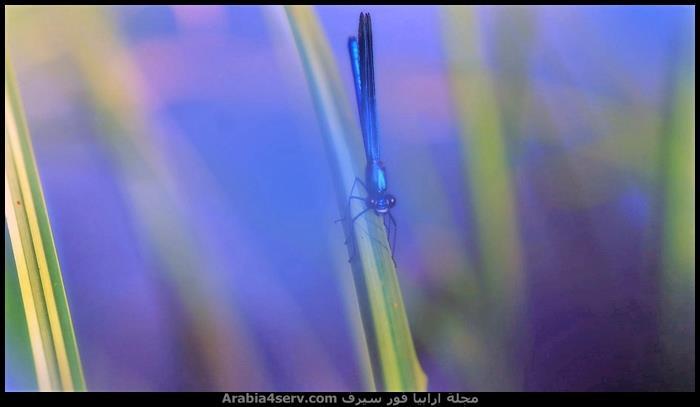 صور-نادرة-احترافية-لليعسوب-Dragonfly-4