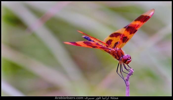 صور-نادرة-احترافية-لليعسوب-Dragonfly-6