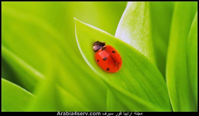 صور-الخنفساء-المنقطة-الدعسوقة-Ladybird-1