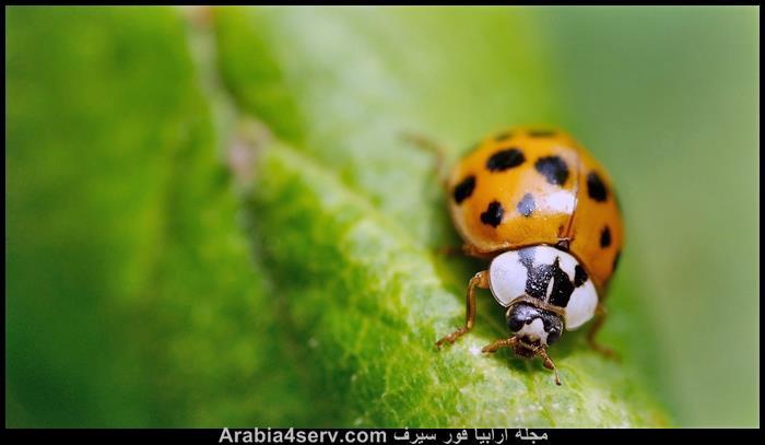 صور-الدعسوقة-الخنفساء-المنقطة-Ladybird-2