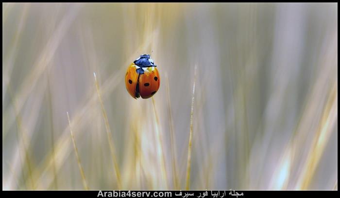 صور-الدعسوقة-الخنفساء-المنقطة-Ladybird-3