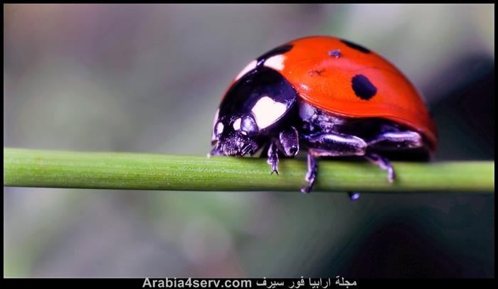 صور-الدعسوقة-الخنفساء-المنقطة-Ladybird-7