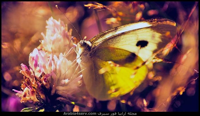 صور-جمال-الفراشات-1