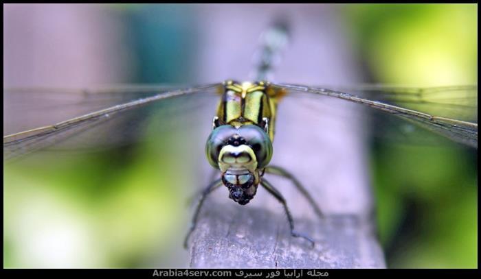 صور-جميلة-لحشرة-اليعسوب-Dragonfly-1